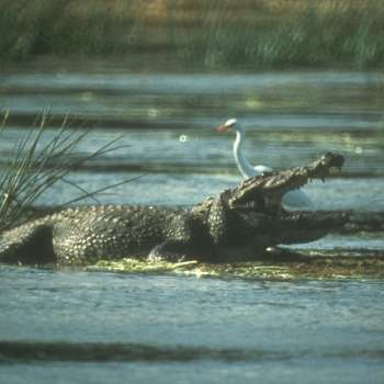 Crocs in the river